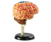 [Az agy kis modellje]