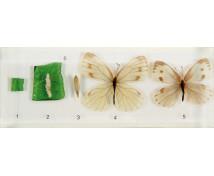 [A pillangó életciklusa - modell]