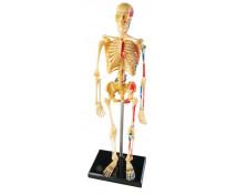 [Emberi csontváz modellje]