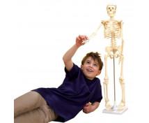 [Az emberi test csontváza, 80 cm]
