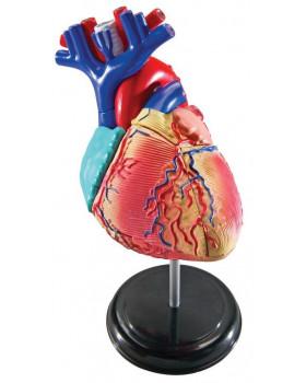 A szív kis modellje
